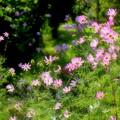 コスモスの咲く庭