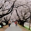 朝の桜並木