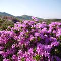阿蘇山ロープウェー付近のミヤマキリシマ(2)