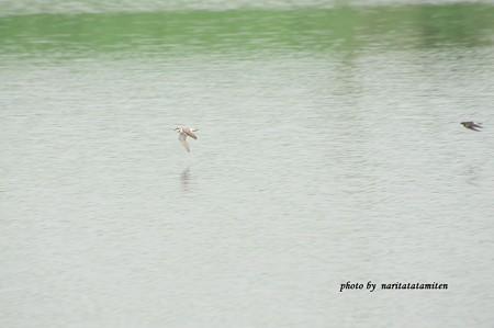 ツバメ コチドリ1