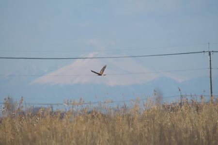 チュウヒと浅間山