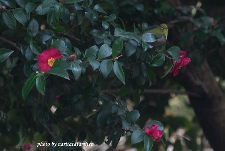 山茶花メジロ02
