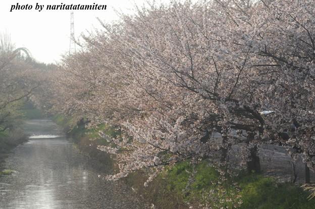 桜市が中止5