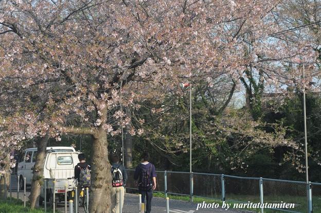 桜市が中止8