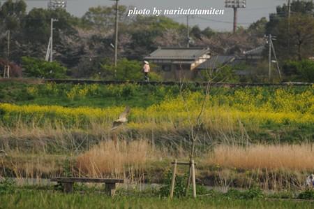 オオタカの幼鳥10