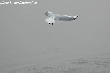 古利根川のユリカモメ11