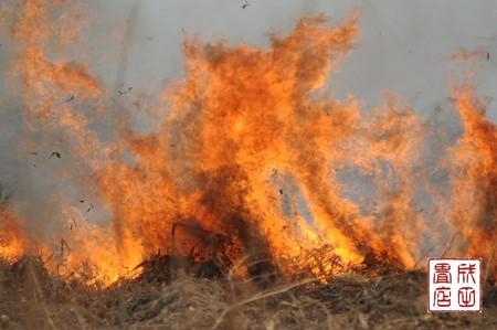 渡良瀬のヨシ焼き34