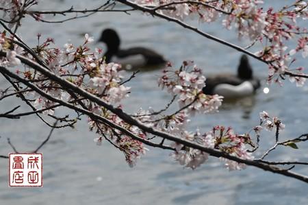 桜とキンクロハジロ02