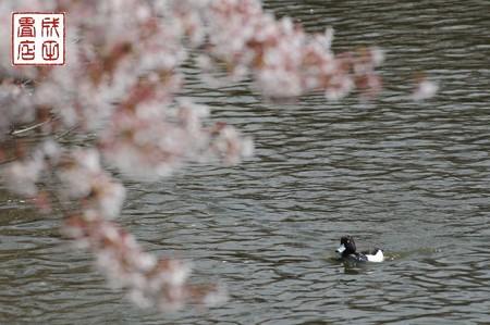 桜とキンクロハジロ03