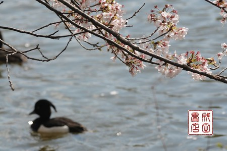 桜キンクロ03