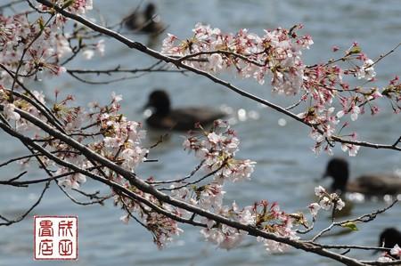 桜キンクロ04