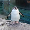 Photos: 旭山動物園のペンギン1