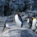 Photos: 旭山動物園のペンギン2