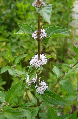 130801-5 ハッカの花