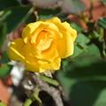 Photos: 131011-2 黄色いミニバラ
