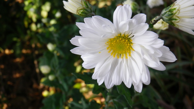 131030-6 白い菊