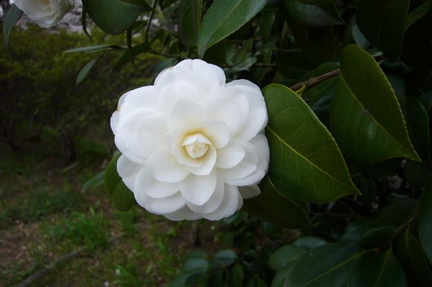 140406-5 白い椿