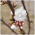 20130316 桜