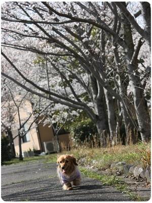 20130330 桜並木