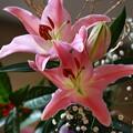 お正月の生け花のユリがようやく開花しました^^
