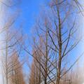 Photos: 青空と冬枯れのメタセコイアの並木道