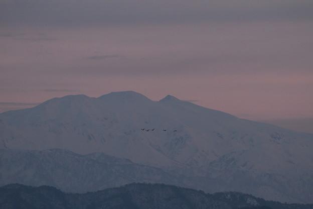 夕暮れの白山とコハクチョウ(^^ゞ