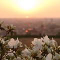 夕陽とツツジ(2)