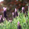 フレンチラベンダー 開花