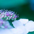 ガクアジサイ花と蕾?