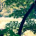 花菖蒲園のモミジ(2)