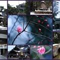 尾山神社 紅梅
