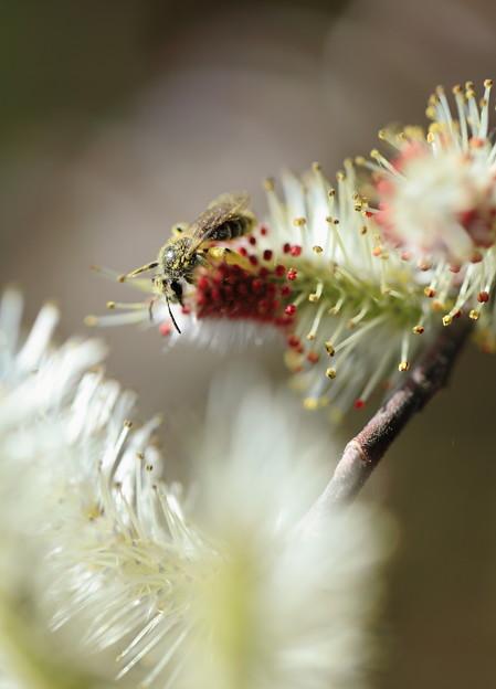 ネコヤナギに蜂さんが(*^-^)