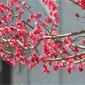 Photos: 紅梅2014_03_15_2
