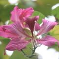 ベニバナソシンカ(紅花素芯花)