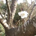 子福桜(コブクサクラ)