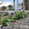道端の春(2)