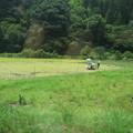 写真: 稲刈り。