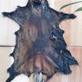 Photos: タヌキの皮。