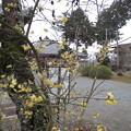 蝋梅と浄土寺。