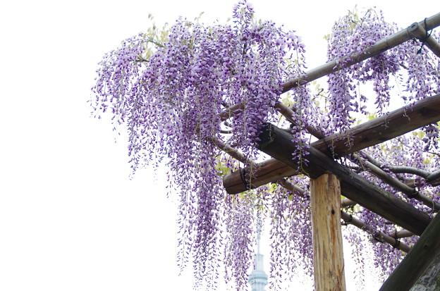 Photos: 棚から藤の花