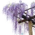 棚から藤の花