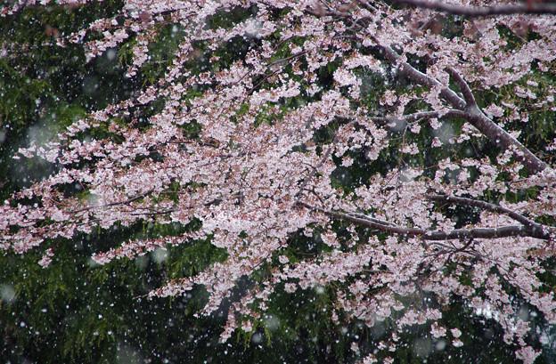 桜に降る春雪-