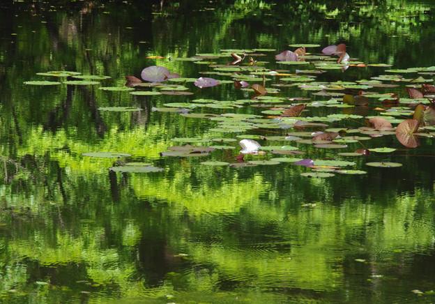 睡蓮の繁る沼1