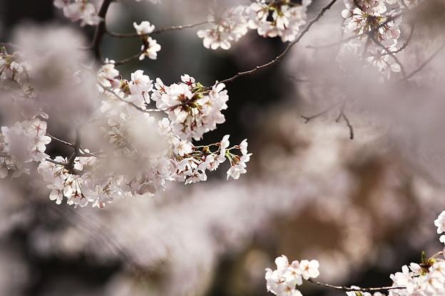 桜`13(早朝松本城)-6