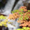 Photos: 滝谷もみじ2