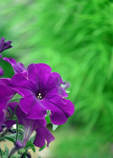 ペチュニア紫1