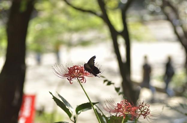 旅の翅 赤き花に宿る