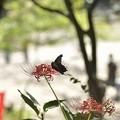 Photos: 旅の翅 赤き花に宿る