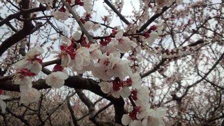 福山、あんずの花