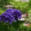 紫陽花、色濃く。